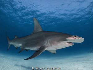 Exasperated Hammerhead Is she actually rolling her eyes ... by Tanya Houppermans
