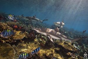 """""""Blacktips on Shark Reef"""" by Allen Walker"""