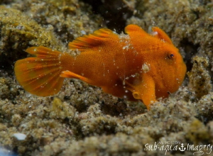 Blowin' In the Wind Baby Frogfish approximately 7mm in l... by Jan Morton