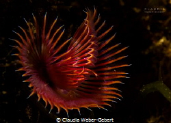 tube worm  -  serpula vermicularis by Claudia Weber-Gebert