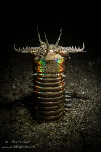 Bobbit Worm hunting,Anilao,Phillippines. by Richard Goluch