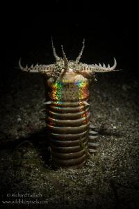 Bobbit Worm hunting,Anilao,Phillippines. by Richard Goluch