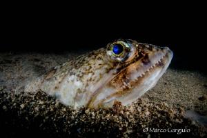 Mediterranean Lizardfish by Marco Gargiulo