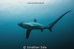 thresher shark by Jonathan Sala