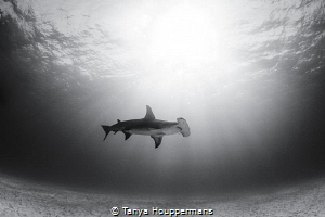Lovely Solitude A hammerhead swims through the sun rays ... by Tanya Houppermans
