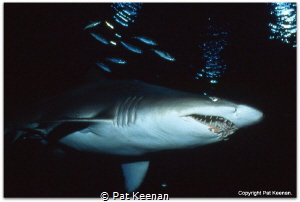 Spectacular sight on a night dive. Grey Nurse (Eugomphodu... by Pat Keenan
