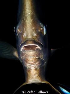"""It's A Trap!"" Longfin Batfish - Platax teira. Sail Rock,... by Stefan Follows"