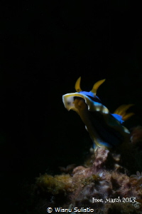 NudiBranch at Lembeh, OMD EM5 60mm macro + subsee+10, z24... by Wisnu Sulistio