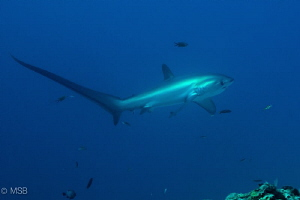 Thresher shark in the early morning dive without strobe i... by Mehmet Salih Bilal