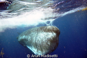 A large male, easily 18m (60ft) long, scarred from battle... by Arun Madisetti