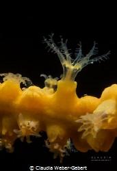 yellow gorgonia - nochmal was von unterwasser:   tiny t... by Claudia Weber-Gebert
