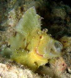 Leaf Fish with Protruding mouth.