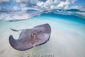 'Stingray cruising on the Sandbar'