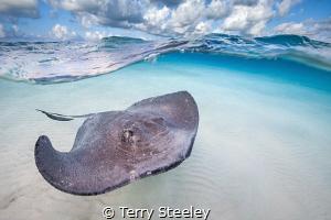 'Stingray cruising on the Sandbar' Stingray City, Grand ... by Terry Steeley