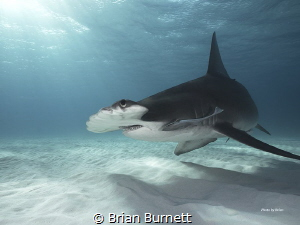 Great Hammerheads Bimini - Bahamas  Expedition with Epic ... by Brian Burnett