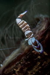 Magnificent Partner Shrimp by Taco Cheung