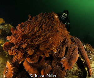 Large Giant Pacific Octopus out hunting by Jesse Miller