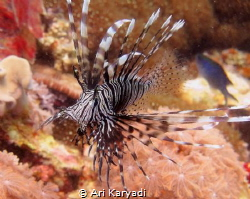 I always fascinated by Lionfish. by Ari Karyadi