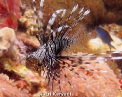 I always fascinated by Lionfish. by Ari Karyadi