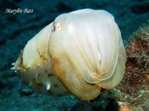 Lovely Cuttle fish . by Marylin Batt