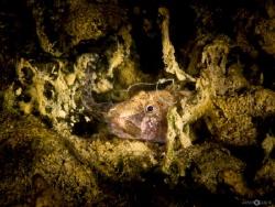 Tubenose Goby eating small tubenose Goby by Armin Rugani
