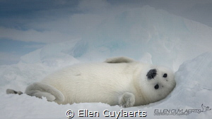 """'Hi"""" Harp seal pup in the Gulf of St. Lawrence by Ellen Cuylaerts"""