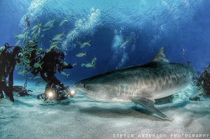 Getting the shots full on and GO! Tiger Beach -Bahamas by Steven Anderson