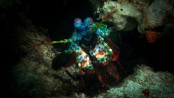 """Mantis Shrimp just before lunging out to """"punch"""" at my ca... by Michelle Blais"""
