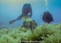 John Dory with divers in the back ground by Peter Blacklock
