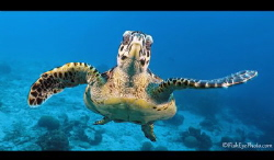 hawksbill turtle looking into the camera by Tim Peters Fish-Eye Photo