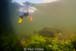 Mallard duck photo-bombing a Brown Trout by Paul Colley