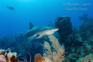 Caribbean Reef Shark, San Pedro Belize by Alejandro Topete