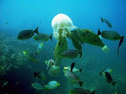 Scribbled filefish, rabbit fish and an odd bannerfish con... by Dawn Watson