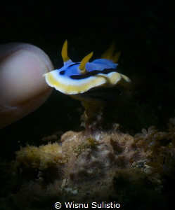 nudibranch at lembeh, using snoot by Wisnu Sulistio