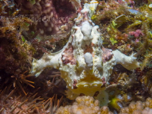 Warty Frogfish Standing at the Ready by Jan Morton