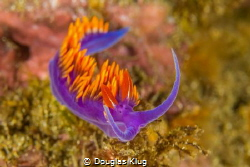 The eyes have it.  A ubiquitous Spanish shawl nudibranch ... by Douglas Klug