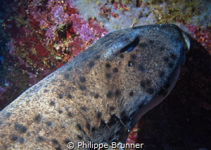 Horned shark by Philippe Brunner