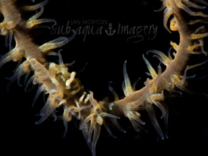 Riding the Whip Whip Coral Shrimp on a Whip Swing by Jan Morton