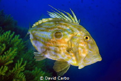 John Dory fish by David Carbo