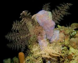 BAsket Star, night dive, D70s by Larry Polster
