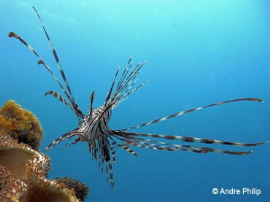"""""""Approach to intercept"""" - The imposing lionfish Moalboal... by Andre Philip"""