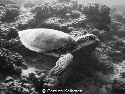 Green Turtle cuising the reef, Maunalua Bay, Oahu Hawaii by Carsten Kalkman