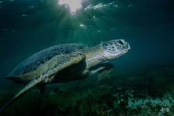 Green turtle - Mayotte by Takma Lherminier