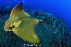 Eagle Ray by David Carbo