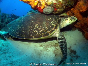Hawksbill Turtle  picture taken in Cozumel Mexico at dive... by Daniel Waldman