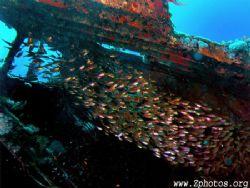 These Golden Sweepers were seeking refuge in this wreck o... by Zaid Fadul