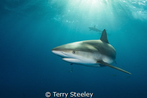 'Caribbean reef shark in the dapple light' Fish Tales, B... by Terry Steeley