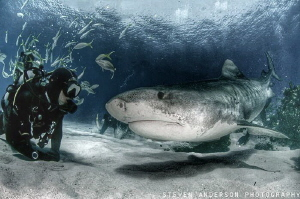 This large Tiger has this divers attention and seeing eye... by Steven Anderson