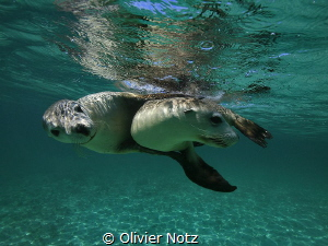 Playful sea lions at the west coast of Australia by Olivier Notz