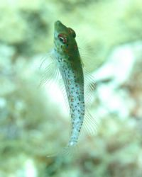 This is a blenny that we caught in mid water off of Litte... by Platt Allen